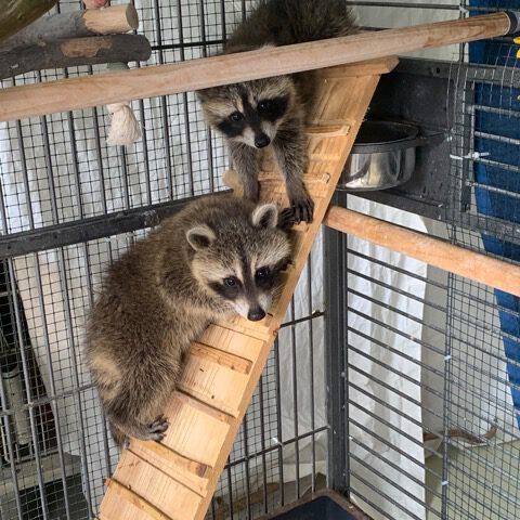 Waschbären-Geschwister URMEL und MURMEL 5 Mon